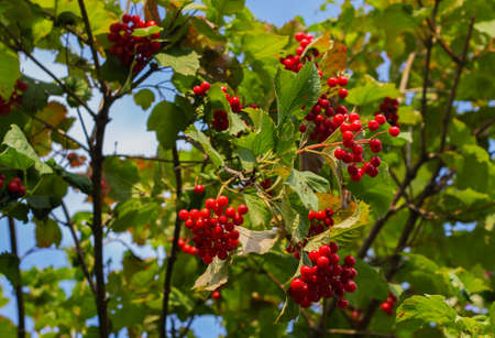 Viburnum berries on a branch close-up. Ripe red viburnum. Viburnum bush. Viburnum is a folk remedy for colds.
