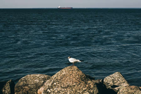 Seagull on a stone against the background of the sea. Portrait of a seagull on the background of water. Sea bird, a seagull, is sitting on a rock. 免版税图像