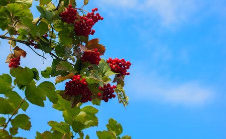 Viburnum berries on a branch close-up. Ripe red viburnum. Guelder bush. Viburnum is a folk remedy for colds. 免版税图像