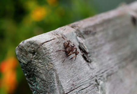 Wolf spider close-up. Dangerous spider insect is sitting on a tree. Spider macrophotography. Predator on the hunt. Spider from the Araneomorph family. 免版税图像