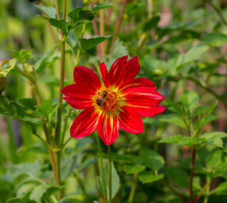Red dahlia close-up. A small bumblebee on a dahlia flower. Floral background. Autumn flowers.