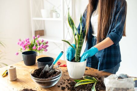 Hands of a gardener in gloves plant a houseplant in a pot with soil, plant with garden tools. Gardening or planting concept.