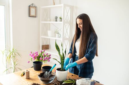 Spring hobbies and lifestyle. A young cheerful woman is transplanting houseplants at home. Stock Photo
