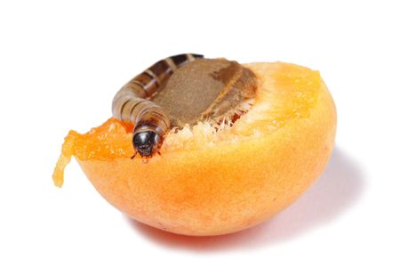 mealworm: Mealworm eating apricot isolated on white background