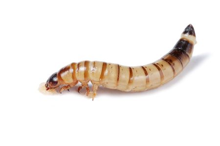 mealworm: Mealworm isolated on white background