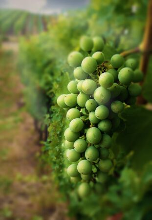 Vineyards and immature wine grapes close up
