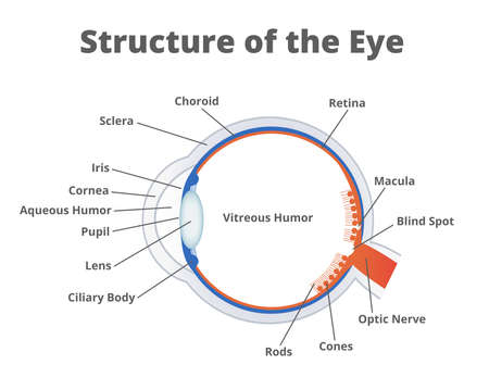 Vector illustration of the structure of the eye. Anatomy of the healthy eye. Human eye anatomy scientific illustration with a description of the individual parts isolated on a white background.