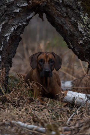 Beautiful dog rhodesian ridgeback hound outdoors on a forest background