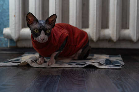 Beautiful sphinx cat in a red sweater looking at the camera