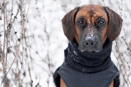 Brown dog Rhodesian Ridgeback winter portrait with Snow White background
