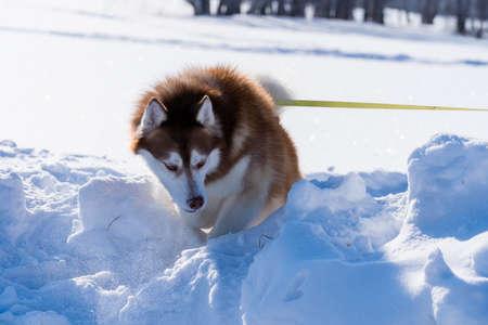 Sled dog skijoring. Husky sled dog pull dog musher. Sport championship competition.