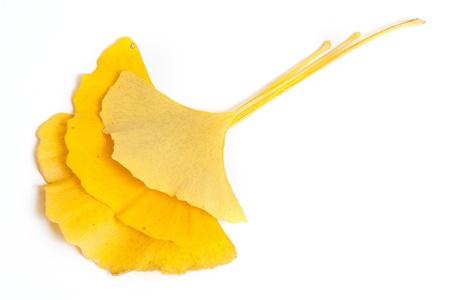 Ginkgo biloba leaf isolated ona white background