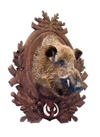 Stuffed wild boar head on white photo