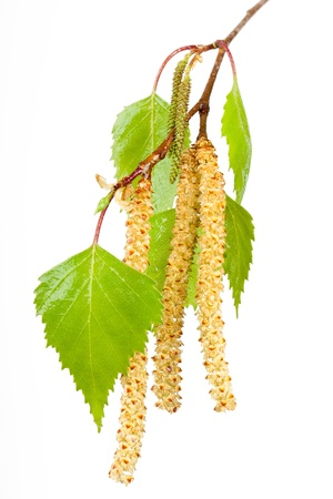 Spring birch buds isolated on white  Stock Photo
