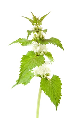White dead-nettle  Lamium album , on white background   photo