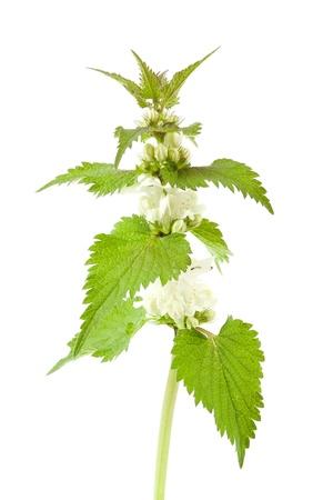 White dead-nettle  Lamium album , on white background   Reklamní fotografie