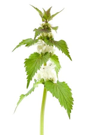 White dead-nettle  Lamium album , on white background   Stock Photo