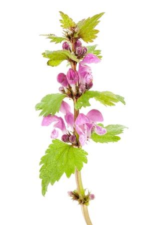 Violet lamier Lamium purpureum fleurs sauvages des plantes sur fond blanc