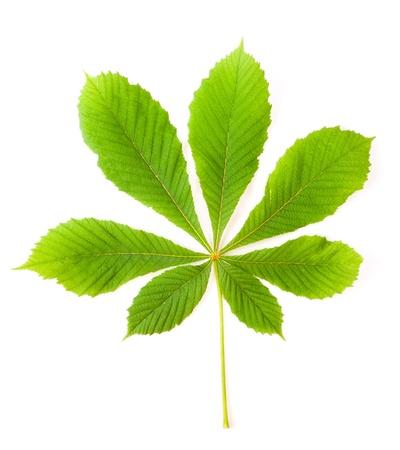 green chestnut leaf  Stock Photo