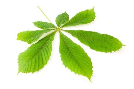verde de la hoja de castaño