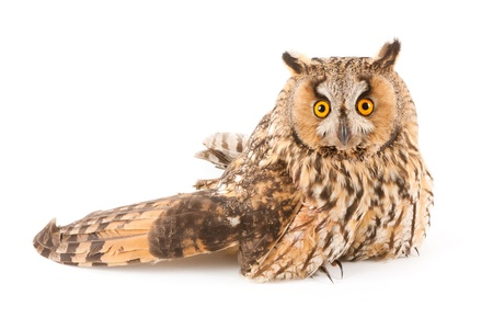 A bird with a broken wing  long-eared owl, Asio otus   photo
