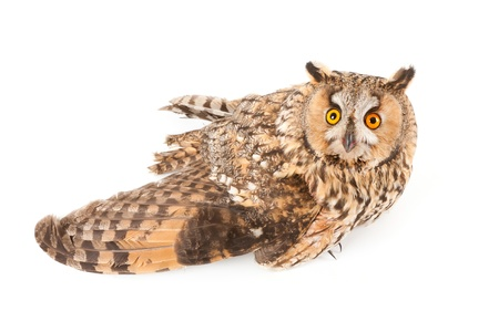 A bird with a broken wing  long-eared owl, Asio otus   photo