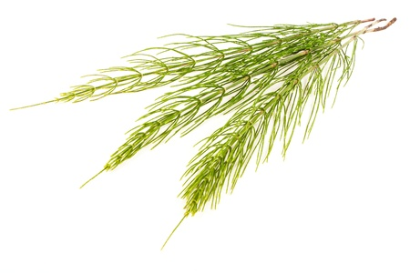 field glass: Field Horsetail on White Background Stock Photo