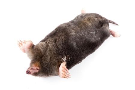 The European mole on a white background, separately  Stock Photo - 13765980