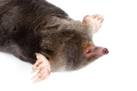 The European mole on a white background, separately Stock Photo - 13765986