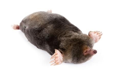 The European mole on a white background, separately  photo