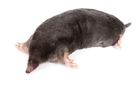 mole: The European mole on a white background, separately  Stock Photo