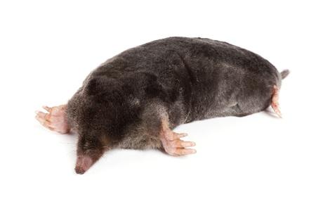 animal mole: The European mole on a white background, separately  Stock Photo
