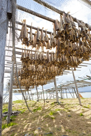 rorbu: Dried fish hanging on a rorbu in the Lofoten