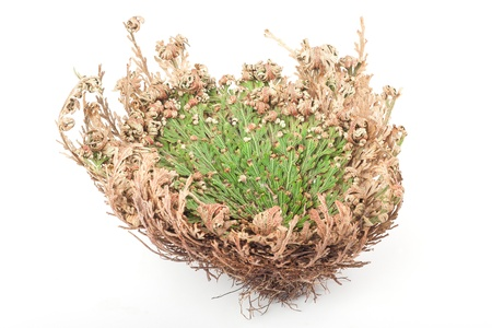 Real Rose of Jericho on white background Stock Photo