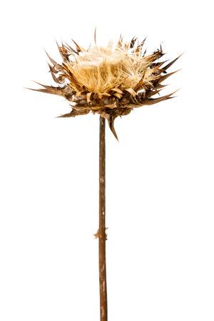 Dry flowerhead of Silybum marianum on white