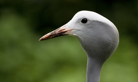 rare animals: Blue Crane Anthropoides paradiseus, head