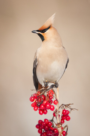 Bohemian Waxwing Bombycilla garrulus sitting on the bush Banque d'images