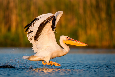 Starting white pelican Romania, the Danube Delta