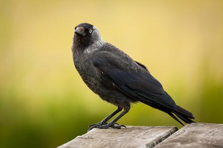 Western jackdaw Corvus monedula, sitting on table