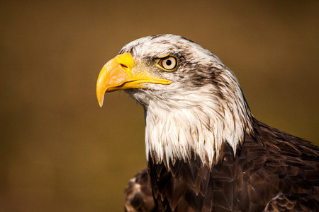 Portrait of a bald eagle  haliaeetus leucocephalus Stock Photo
