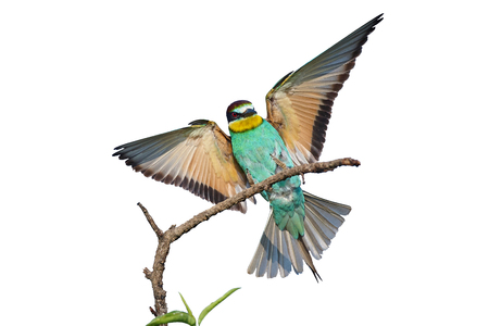 European bee-eater with wings Reklamní fotografie