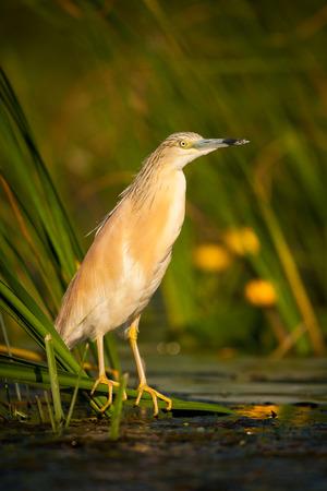 Squacco Heron fishing in the Danube Delta
