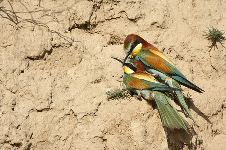 Couple of European bee-eaters