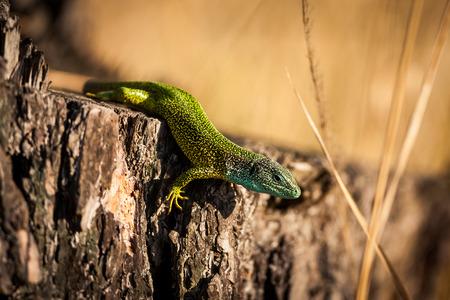 European green lizard - Lacerta viridis
