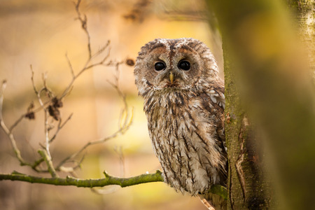 Tawny Owl looking around tree d