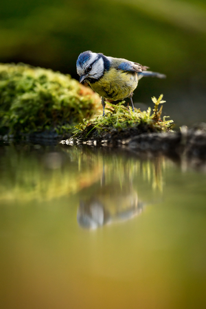 European Blue tit (Cyanistes caeruleus) drinking water Reklamní fotografie