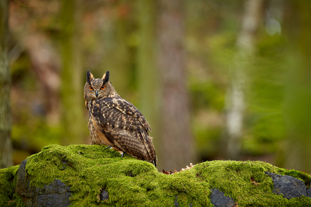 Eurasian eagle owl, Bubo bubo, siting on the rock in the dark forest. Green forest in the background. Wild animal with big orange eyes. Reklamní fotografie
