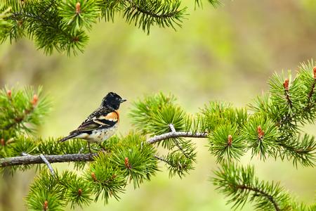 Brambling, Fringilla montifringilla on a pine branch.Wildlife scene from Varangerfjord, Norway.