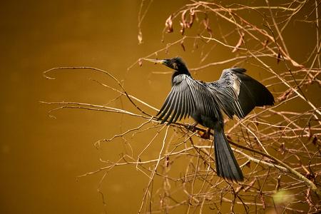 An Anhinga (Anhinga anhinga) drying off in the sun. Wildlife scene from Costa Rica