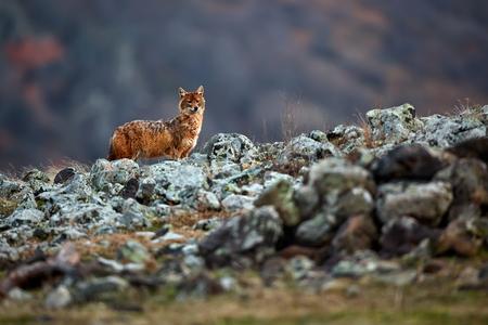 Golden jackal, Canis aureus, in mountains. Wildlife scene from Bulgaria. Wild animal. Reklamní fotografie